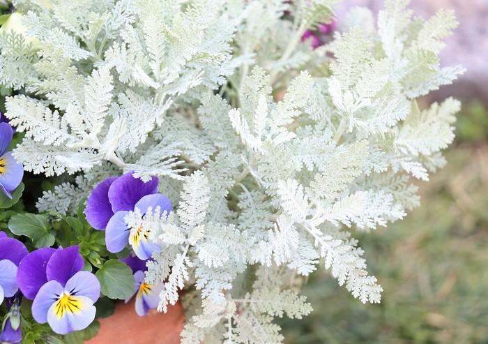 植物の葉っぱの色といえばまず緑色ですが、その他にも黄色や斑入り、赤、黒、白系と様々な色のカラーリーフがあります。そんなカラーリーフの中で、銀白色の白っぽい色の葉を持つ植物が「シルバーリーフ」と呼ばれています。  ふわふわ・もこもこした印象のもの、爽やかな、清楚な、メタリックな、シルクのような、大人っぽい、すっきりとした、ドレッシーな等々種類も豊富でそれぞれ特徴があります。ぜひ、好みのシルバーリーフを探してみてください。