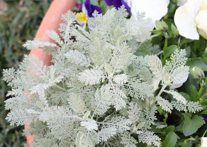 7.シルバーレース キク科 耐寒性多年草 観賞期:周年 草丈:10~30cm  日なたと水はけのよい用土を好みます。繊細な葉の美しさを花壇やコンテナの縁取りに使います。高温多湿の蒸れに弱いので少し注意が必要です。