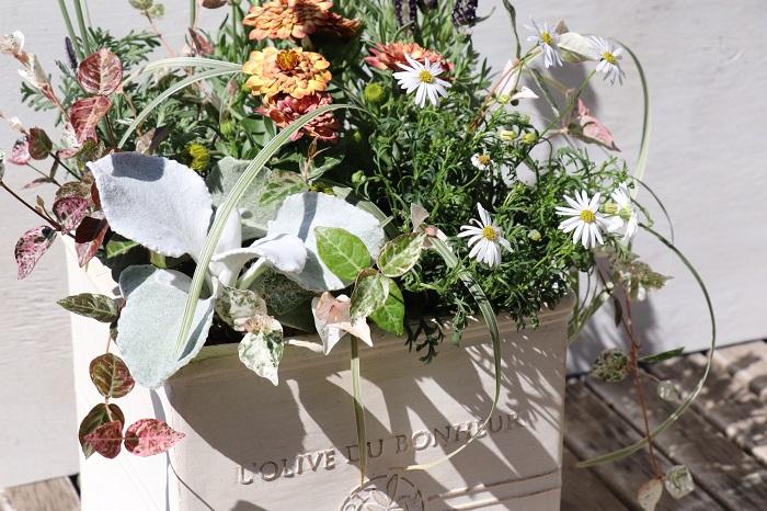 シルバーリーフは単体で育てても美しいですが、同系色で葉の形が異なるリーフと組み合わせたり、他の色のカラーリーフと組み合わせても美しいハーモニーを生み出すことができます。  また、花と組み合わせることで花をより美しく引き立てたり、逆にシルバーリーフが花に引き立てられることもあります。様々な色と形、質感の組み合わせにより、草花は引き立て合っています。  シルバーリーフを上手に使って寄せ植えを作ったり、玄関までのアプローチやメインのお庭を飾っているお家を見かけますが、とても上品な雰囲気を感じます。  また、シルバーリーフはマルバユーカリ、ラムズイヤー、サントリナなどのようにドライフラワーにしてリースやクラフトに使えるものも多く、育てると別の楽しみも増えますね。ぜひ、魅力いっぱいのシルバーリーフを育ててお楽しみください。