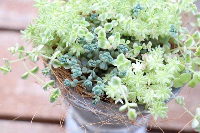 セダムはとても丈夫でメンテナンスも簡単。その「強さ」を生かしてグランドカバーや緑化に役立つうえに、セダムのもう一つの持ち味である「繊細な美しさ」を生かすとかわいらしい寄せ植えやリースを作ることもできるので、本当に優れものです。  過湿による蒸れに弱い部分に気を付けて、乾かし気味で育てることが注意ポイントですが、水やりの時間があまり取れない方には安心な植物でもありますね。  ぜひ、強さと繊細な美しさを兼ね備えたセダムを育ててお楽しみください。
