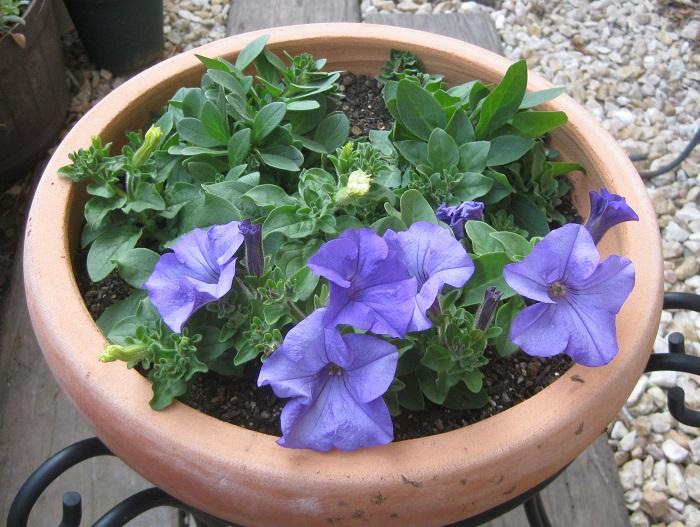その一週間後の様子です。うすいブルーのサフィニア「ヘブンリーブルー」が咲き始めました。
