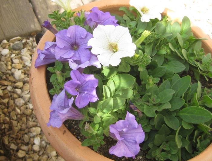 寄せ植え作成から二週間後の様子です。白いサフィニア「ピュアホワイト」も咲き出しました。