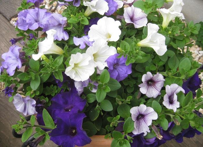 5月初めの様子です。寄せ植え作成から約3週間が経過しました。4色のサフィニアが鉢の外側にまで咲き広がり、葉も隙間なく育っています。花芽を増やすため、最初のピンチ(枝先摘み)を行いたいと思います。