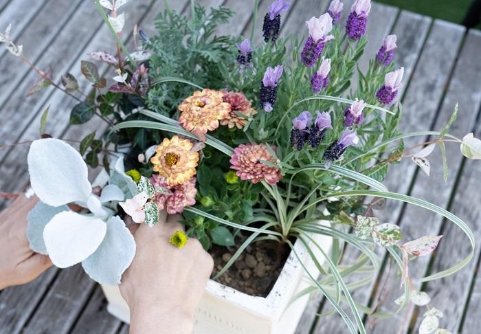 シルバーリーフはラベンダーやオステオスペルマムなどの春の花とも合います。