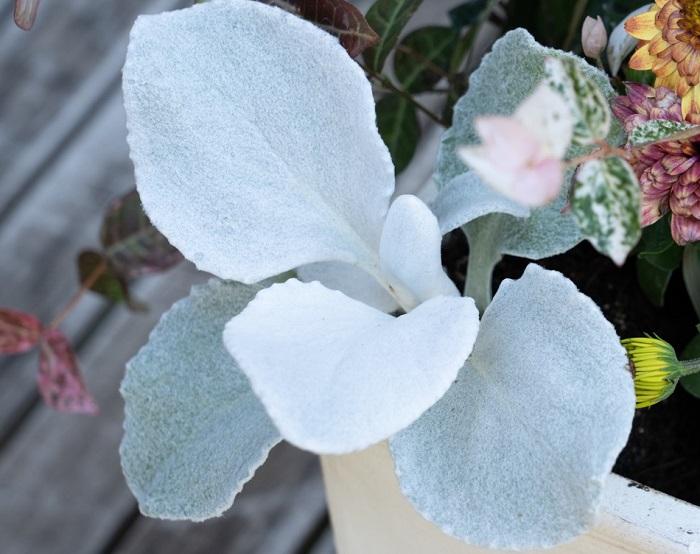 セネシオ キク科 耐寒性多年草 観賞期:周年 草丈:10~25cm  日なたと水はけのよい用土を好みます。シロタエギクの仲間で基本的に丈夫なので、蒸れに注意すれば夏越しできます。もこもことしたシルバーの大きな葉っぱが魅力的です。