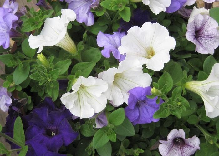 サフィニアはナス科の多年草で、ペチュニアの園芸品種です。花期は4月~10月です。ふんわりと美しく咲きこぼれます。  耐寒性が低いですが、東京以西で冬越しすることもできます。日なたと水はけの良い用土を好みます。花色は桃、青紫、赤、黄、白など豊富です。  サフィニア・ペチュニアは、春から秋に長い間楽しめる花の代表と言っても過言ではないくらいポピュラーな花です。余談ですが、秋から春に長い間楽しめる花の代表といえば、パンジー・ビオラですよね。春から秋はサフィニア・ペチュニア、秋から春はパンジー・ビオラを中心に植えれば、庭やベランダなどを明るく華やかに保つことができます。  今回は4色のサフィニアを使ってブルー&ホワイトの寄せ植えを作ることにしました。植え付け後、ブルー&ホワイトのサフィニアが涼し気にふんわり美しく咲くイメージをして植えていきましょう!