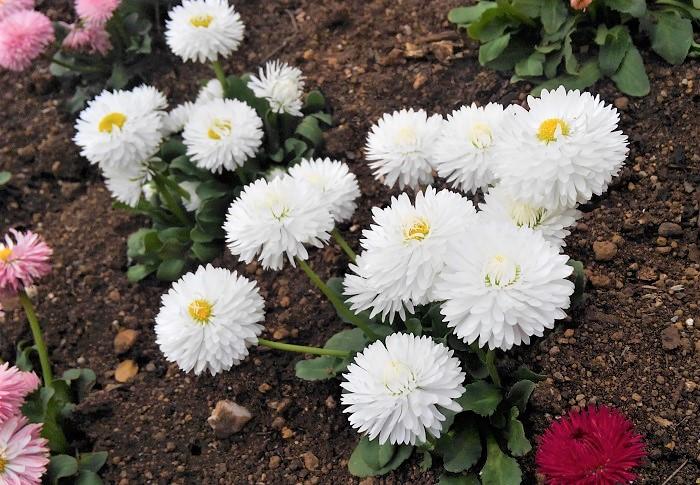 デイジーはキク科の耐寒性一年草です。日なたと水はけのよい用土を好みます。開花期は11~5月で、東京以西の暖かい地域では冬から春の長期間開花します。  デイジー全般の花言葉として、「平和」「希望」があります。白いデイジーの花言葉は「無邪気」です。