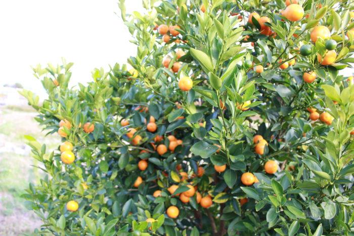 日本でも百貨店やフルーツパラーなどではスペインから輸入された果実が山積みにされ販売されているが、スペインからの観賞用にPOT栽培された柑橘などの植物は、園芸店などでも見かけることができない。こんなに素敵な鉢植えなのに何故、日本には輸入されていないのか?  その理由は、スペインを含む地中海地方の柑橘などには、日本の柑橘に甚大な被害を及ぼす恐れのあるチチュウカイミバエなどの成虫や卵などが付着している可能性があるからである。そのために通常の厳しい検査に加えて、日本に到着してから隔離検査などが必要とされている。その隔離検査場も日本に潤沢にはないため、検査をするまでの順番待ちの時間も予測できず、検査合否が出るまでに数年を要するからである。そして数年後に必ず合格できるかどうかも約束されたものではない。さすがにそのような輸入リスクを考えると観賞用の柑橘類を輸入する人はいないからであろう。私もそのような魅力的な柑橘の輸入を成功させてみたいとは思ったことがあるが、さすがに取り組まなかった。  なぜならば、場合によっては日本の生産者や植物に大きな問題を引き起こすかもしれない可能性がある植物輸入は控えるべきだと考えているからだ。また隔離検査など植物に大きな負担を強いてしまう。その結果命をなくす植物もある。先日書かせていただいたオーストラリアのバオバブのように、行き場を失ってしまうような植物をサバイブして取り組む場合以外には、一か八かの輸入は行うべきでないと考えている。これは生まれながらに植物と共に育ち、幾度もの輸入によって植物に教えられたことである。
