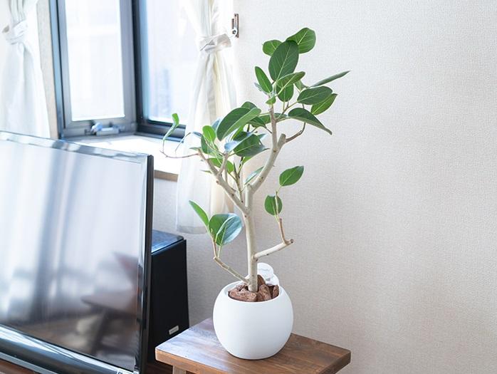 初心者でも育てやすい観葉植物 フィカス・ベンガレンシス