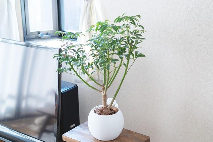 初心者でも育てやすい観葉植物 シェフレラ・ホンコンコンパクタ
