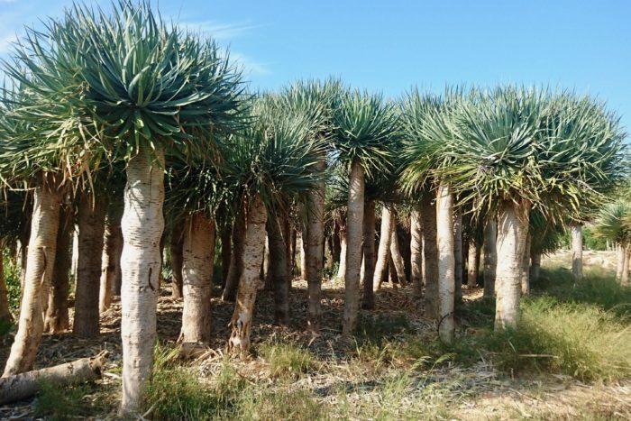 ドラセナ ドラコ さて一つ目は、インパクトのある大きなこの木を紹介したい。 ドラセナ ドラコはスペイン カナリア諸島などを原産とする高木である。スペイン本土でもかなり前に移植もしくは、種から育てられたものが大きく育っている。その大きさは、見上げても足りないくらい。かなりの迫力であった。 この種を探しに山や畑に入った際にはこのような光景で、栽培しているというより、もはや森のようになっていて、想像もしていなかった状況に反り繰り返ってしまうような驚きを感じたのを覚えている。