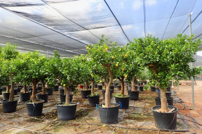 スペインの植物でユッカ、アガベなどが頭に浮かんでくるのは、あくまでも植物好きの人の中でもデザットプランツなどに興味がある人で、オリーブ以外にスペインの植物と言えばオレンジ、レモンなどの柑橘やブドウなど果樹が頭に浮かぶ人のほうが多いかもしれない。実際に果樹の生産量は世界トップクラスである。そしてその用途は生食用であったり、ジュースやワイン用の加工用であったりする。しかし食用以外にも実際には観賞用に地中海地方でPOT栽培された柑橘も多く流通している。それは本当に可愛らしく、私が初めて欧州の展示会で見たときには、オリーブ並みに日本で紹介したいと興奮した。