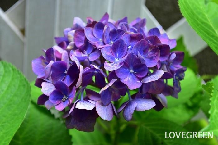紫陽花(アジサイ)の花言葉