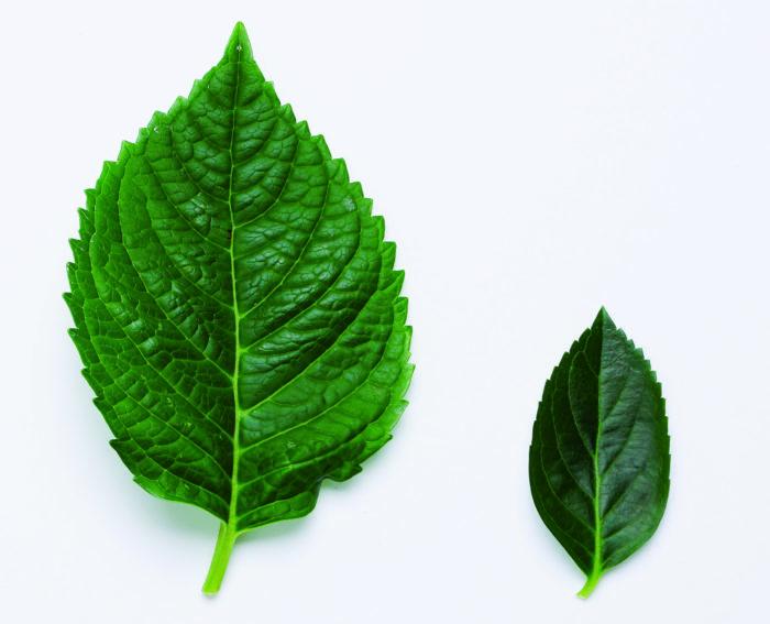 また、葉の大きさが従来のアジサイに比べて1/4と小さいため、葉からの水分蒸散量が半分以下。つまり、そのぶん水やりの回数が少なくて済むので、日々の水管理がぐっと楽になります。(左:普通のアジサイの葉、右:ラグランジアの葉)