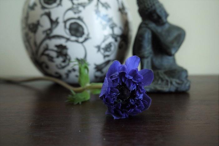 植物名:アネモネ 科名:キンポウゲ科 分類:多年草 花期:2~5月 アネモネは春に咲く球根花です。紫の他に白やピンク、赤など、色数も豊富。大きな花芯の周りに放射状に花びらを広げます。  アネモネという花の名前はギリシャ神話に登場する少女に由来します。西風ゼピュロスの求愛から身を守るために、アネモネという少女はこの花に姿を変えたと言われています。  アネモネの花びらは蝋細工のような独特の材質感をしています。散り際には透けるように色褪せていく様子も美しい花です。アネモネの花が咲いたら、花びらが散っていく最後の姿まで楽しみましょう。