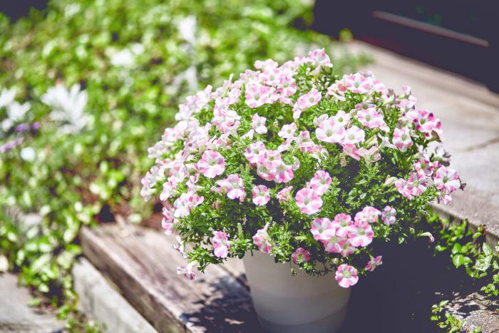 サフィニアは、サントリーがペチュニアを品種改良し、1989年にデビューしました。波打つように次々と花が咲くことから「サーフィン」と「ペチュニア」を組み合わせて「サフィニア」。それまでのペチュニアにはなかった豪華に咲きしだれる花と育てやすさから、幅広い層に支持され、日本の「ガーデニングブームの火付け役」となった花としても知られています。