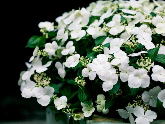 花と葉の大きさも絶妙なバランス。株全体に花と葉がまんべんなく散りばめられる様子は、まさに「ブライダルシャワー」の名前通りに優雅です。
