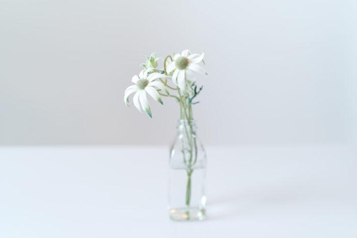 花や葉・茎に細かい毛が生えているフランネルフラワー。ふわふわとした触り心地が特徴です。可憐な花姿は贈り物としても人気。