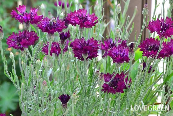 園芸店などにあるヤグルマギク(矢車菊)の多くは八重咲の種類ですが、原種は一重咲きの品種です。「疾風」と呼ばれている品種は花色が混合している八重咲です。「ブラック・ホール」の品種は花色が黒褐色で、人気がある品種です。最近は、単色から複色まで花色が豊富です。
