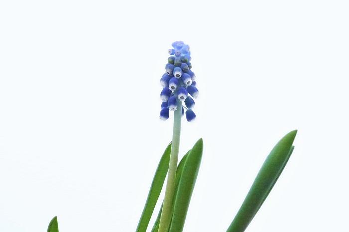 植物名:ムスカリ 科名:キジカクシ科 分類:多年草 花期:3~5月 ブドウを逆さにしたような小さな紫色の花が可愛いムスカリ。ムスカリの花は初春、梅が咲くころから咲き始めます。顔を近づけるとふわりと甘い香りがするのも特徴です。紫色の花のほかに白やピンクの花を咲かせる種類もあります。  ムスカリは地植えにすると、分球してよく増える球根植物です。草丈は10㎝程度と小さく派手な花ではありませんが、群生している姿は見ごたえがあります。ムスカリの球根は鉢植えでも鉢のなかでどんどん分球して増えていくので、数年に1度は植え替えるようにしましょう。