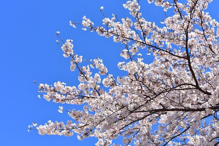 花の時期 2月~4月  3月4月の花は?と聞かれて桜をあげる方が一番多いのでは。桜の開花というニュースで使われる桜の品種は、ソメイヨシノ。昭和の頃は、ソメイヨシノと言えば入学式の頃に満開になる桜でしたが、年々花の開花が早まり、今では3月に咲き始めから満開になる年もあります。このソメイヨシノは、若木でも花を咲かせる特徴があり、戦後日本中に植えられ、今では桜の代名詞のようになっています。冬の間は枯れ木のような状態だった枝から、淡いピンクの花が枝一面に美しく咲き誇る姿は、人を惹きつける魔法のような光景です。