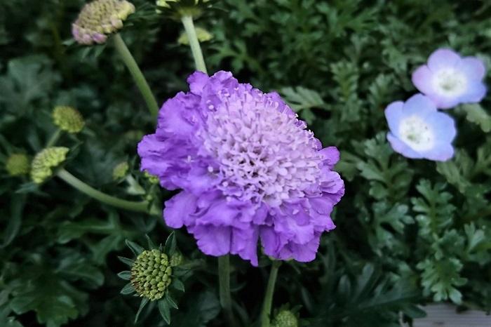 植物名:スカビオサ(マツムシソウ) 科名:マツムシソウ科 分類:多年草 花期:3~5月、四季咲き 春に薄紫色の可愛らしい花を咲かせるスカビオサは、切り花でも庭植えでも人気の花です。淡い紫色の直径3~4㎝くらいの花を咲かせます。  湿気や蒸れに弱いので、庭植えにするなら風通しの良い場所が向いています。桜が終わって梅雨に入る前くらいまで優しい紫色の花をゆらゆらと風にそよがせるように咲き続けます。  切り花のスカビオサも人気で、ほぼ通年流通しています。切り花のスカビオサは野花のような可憐な雰囲気があり、ブーケやアレンジメントに入れると、全体の雰囲気を繊細で優しくしてくれます。