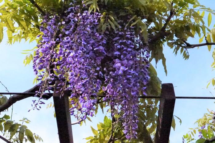 植物名:藤(フジ) 科名:マメ科 分類:落葉つる性木本 花期:4~5月 藤(フジ)は日本の春を代表するマメ科のつる植物です。春、ソメイヨシノが終わった頃に薄紫色の花を下げるように咲かせます。花にはわずかな芳香があるので、藤棚の下にいると優しい香りを楽しめます。  「藤色」の語源はこの藤(フジ)の淡い紫色の花からきています。歌舞伎や日本舞踊で有名な「藤娘」もこの藤(フジ)が由来です。庭園や公園などにも藤棚があるように、藤(フジ)は古来より愛されてきた春の象徴のような花です。