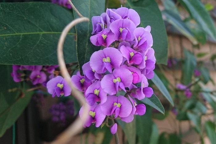 植物名:ハーデンベルギア 科名:マメ科 分類:常緑つる性植物 花期:3~5月 ハーデンベルギアは春に鮮やかな紫色の花を咲かせるつる植物です。「花は知ってるけど名前がわからない」という方も多いかもしれません。関東より暖冬な地域であれば常緑です。庭植えにすると年々大きくなります。  艶のある濃いグリーンのと春に咲く鮮やかな紫色の花のコントラストが美しい植物です。