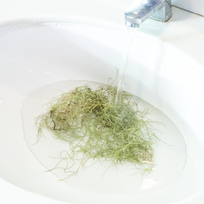 まず、水やりは毎日やってよい!  ウスネオイデスはティランジアの中でも水を欲しがる種類なんですね。なので基本的に毎日水やりして大丈夫です。