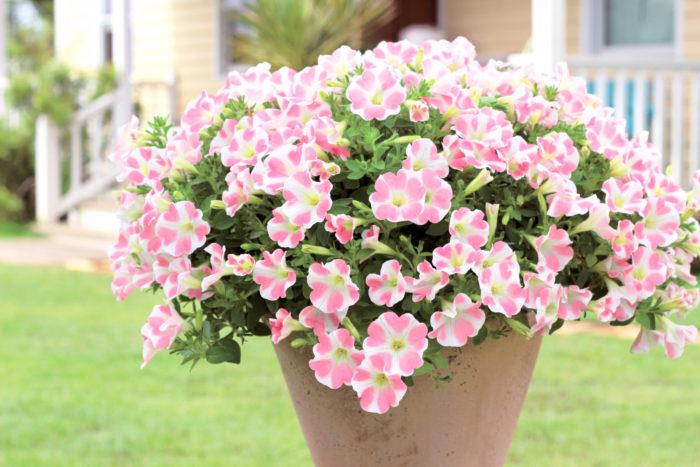 例えば、花びらにピンク色のハート模様が入る「ももいろハート」は、インスタグラムでも大人気!