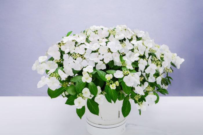 適当に切り戻すだけで、株いっぱいに花を咲かせるラグランジア