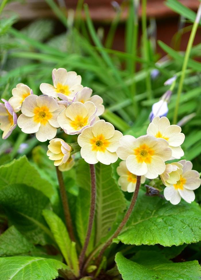 花壇に植えたプリムラ。すっとした花姿がかわいい。