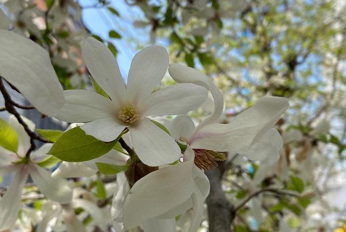 コブシ  見た目が似ているハクモクレンとコブシの見分け方で一番簡単な方法は、花びらの枚数です。コブシは6枚であるのに対してハクモクレンは9枚です。