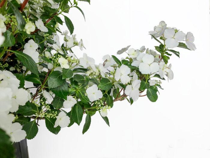 その秘密は、ラグランジアの花の咲き方にあります。枝の先端にだけ花が咲くこれまでのアジサイと違い、すべての側芽(枝につく芽)に花がつくため、これまでのアジサイに比べて6倍以上(!)の花を咲かせてくれるのです。