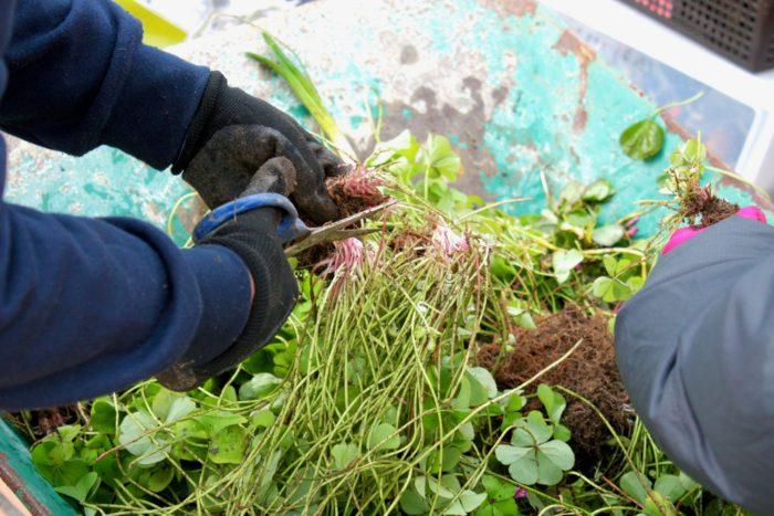 増えすぎたカタバミを抜き、またいつでも植え付けられるように球根だけを残し保存しています。  花は小学生のころから大好きでした。ポピーの小さなタネをまいたときに、小さなつぶつぶの種から沢山の花が咲いたことにとても驚きました。それから野菜や果物など、身近なものを自分で種を採取して育てていたんです。植物が好きになったきっかけは、その時の体験ですね。  園芸を専門的に学んだのはいつからですか?  結婚し子育てが終わって、それまでずっと子どもに使っていた時間がぽっかりと空いてしまったときに、その穴を埋めるためにも庭のお手入れをしていました。そんなに庭が好きならと、友人の勧めもあり、西日本短期大学の緑地環境科に入学し、園芸に関する知識を学ぶこととなりました。  園芸を始めたのは子育て後だったのですね  はい、短大の2年間の履修を終えたときに、たまたま友人から庭の設計を頼まれたのが初めてのお仕事でした。設計を行い、施工は造園業者の方にお願いをしましたが、当時の造園業者の方は花を取り扱っておらず、花物の植栽はできないと断られたんです。なので花物に関しては私自身が植栽しました。そうして出来上がった友人の庭を見た方が、同様にお願いしたいと依頼が来て、会社を作るきっかけとなりました。