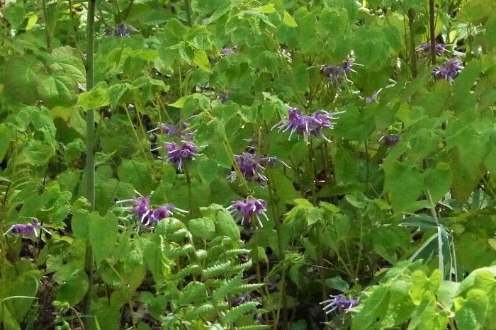 植物名:イカリソウ 科名:メギ科 分類:多年草 花期:4~5月 イカリソウは日本の山野にひっそりと自生している山野草です。春に白やピンク、紫色の特徴的なフォルムの花を咲かせます。その独特な花の形を船の錨に見立ててイカリソウと名付けられたと言われています。  イカリソウは直射日光が苦手で、落葉樹の足元や、明るい森の中などに自生しています。鉢植えや切り花でも流通しています。