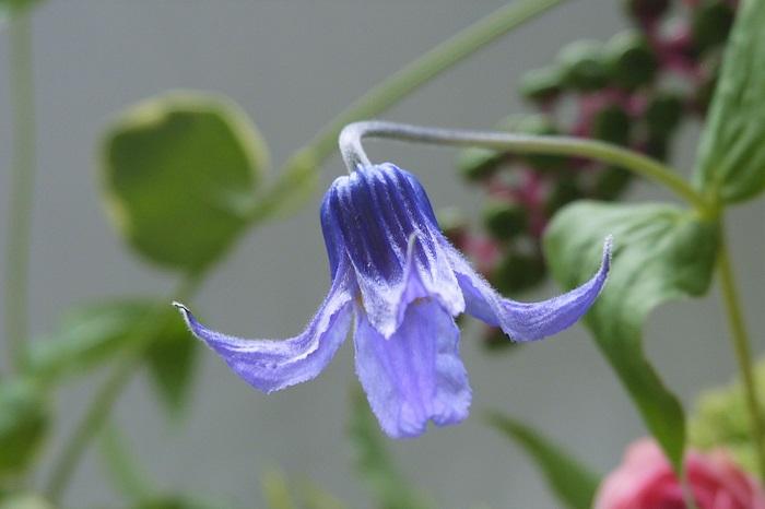 植物名:クレマチス 科名:キンポウゲ科 分類:多年草 花期:3~5月、9~10月、四季咲き クレマチスは春に美しい紫色の花を咲かせます。クレマチスには木立性といってつるにならない種類もありますが、多くはつる性です。春、庭先のフェンスやトレリスに大きく絡みつきたわわに花を咲かせるクレマチスの姿は、通りを行く人の足を止めるほどに見事です。  クレマチスには何百種という品種があり、大輪の花を咲かせるもの、小さなベル型の花を咲かせるものなどがあります。  クレマチスは切り花で楽しむこともできます。アレンジメントやブーケではそのつるを活かして大きく絡ませるように使用すると、大人っぽい雰囲気を演出できます。