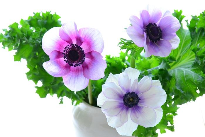 定番のビビッドカラーの他、パステルトーンの淡い色あい、咲き方も一重の他、八重咲きのものも登場しているアネモネ。太陽と温度に敏感に反応する性質で、新鮮なうちは朝になると開き、夜になると閉じるを繰り返します。