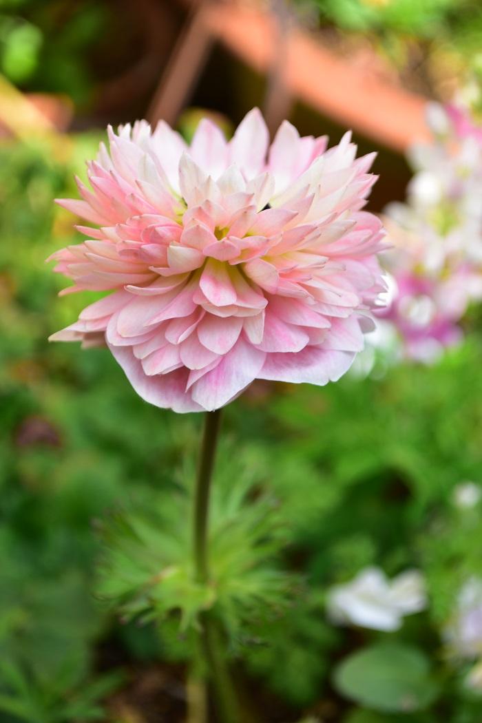 昼間の開花している時間帯のリリカ。一枚一枚のガクの色合いが美しくて見惚れてしまいます。そんな開花を喜んでいたところ、ある日の強風の夜、花茎が見事に根元で折れてしまいました……。