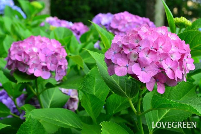 紫陽花(アジサイ)は、日本が原産の落葉低木。原種は日本に自生するガクアジサイです。6月や梅雨時期に咲くこともあり、その時期を象徴する花のひとつです。鉢花、切り花、ドライフラワーとしても人気が高い植物です。