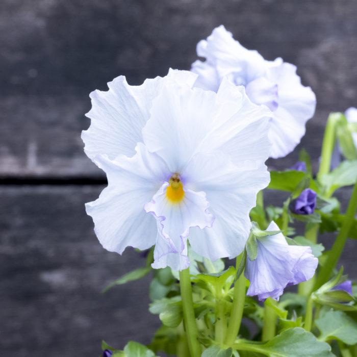 このなんとも言えない色合い、いやもう最高ですね……。  基本的には白なのでしょうが、薄く青がのっていて白よりも繊細な雰囲気。  いやぁ、良い。これは良いものですよ。