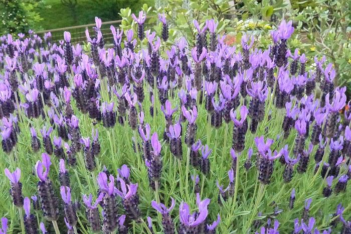 植物名:ラベンダー 科名:シソ科 分類:多年草 花期:5~7月 ラベンダーは甘い香りが有名なハーブです。ラベンダー色という色の名前があるように、青味がかった薄紫色の花を咲かせます。  ラベンダーはすっと伸びた細い茎の先に穂のように小花を集合させて咲かせます。庭植えにすると茂みのように大きくなるので、存在感があります。  ラベンダーにはイングリッシュラベンダーとフレンチラベンダーがあり、芳香で有名なはイングリッシュラベンダーです。