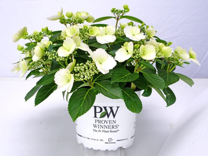 日本でもPWブランドの商品として3月下旬頃から店頭に並びます
