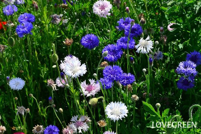 ヤグルマギク(矢車菊)の特徴