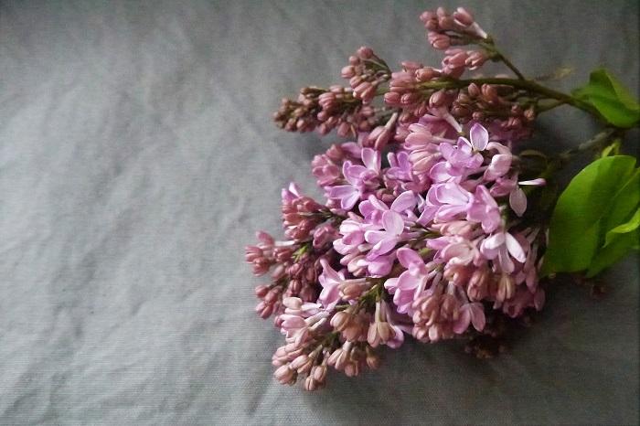 植物名:ライラック 科名:モクセイ科 分類:落葉小高木 花期:4~6月 紫色の小花が可愛いライラックは、切り花でも庭木でも人気の花です。ライラックの花はソメイヨシノが咲くころに咲き始めます。ライラックは、花びらが4枚の小花を枝の先に集合させるように枝の先にたわわに咲かせます。  ライラックにはかすかに芳香があり、花も香りも楽しめるのも特徴です。