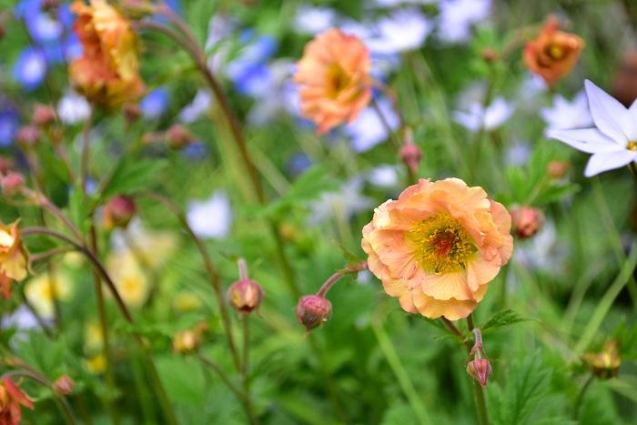 ゲウム・マイタイは、春から初夏まで開花します。終わった花は、まめに摘み取りましょう。
