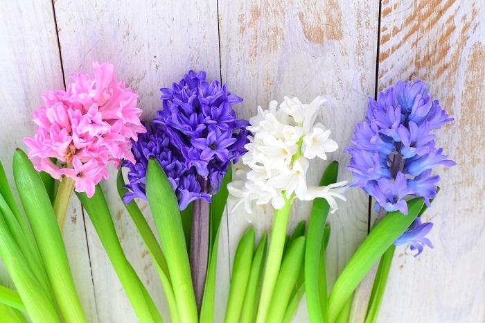 みずみずしくて香りも良いヒヤシンスは大人気。花は下から徐々に上に向かって咲いていきます。最近は種類が増えて、カラーバリエーションも豊富です。