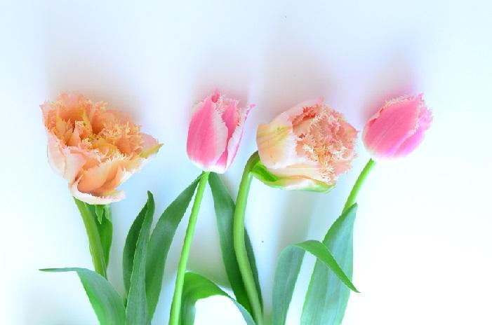 赤、白、黄色……子どもの頃のチューリップの色と言えば限られた色でした。それが今はどうでしょう。様々な色や咲き方のチューリップがたくさん流通しています。写真のような、花びらがギザギザしている変わった咲き方や球根付きの原種チューリップもあります。