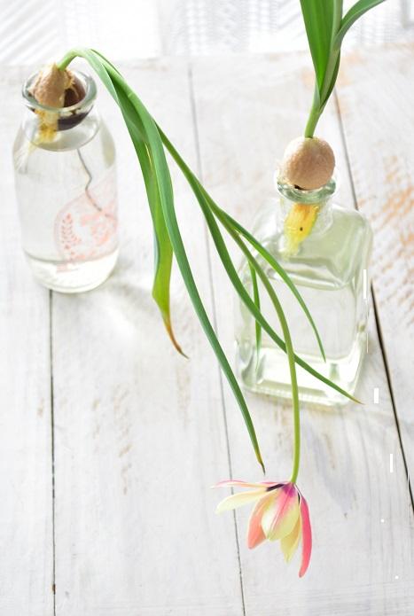 1つの球根は、急に花茎が伸びた途端、安定感が悪くなってしまって自由奔放に暴れた感じになってしまいました。