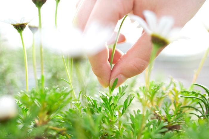 咲き終わった花や、落ち葉も病気や虫の温床になることがあります。咲き終わった花は土の上に落ちたら虫の好む場所へ早変わりするので、こまめに取り除くようにしましょう。